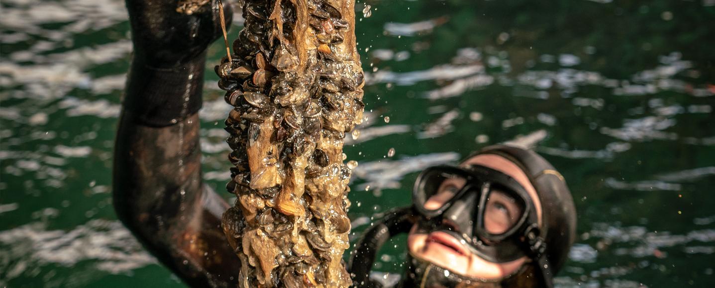 Dyrkning af blåmuslinger på Bølgemarken