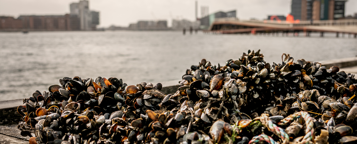 Mussels from the harbour of Copenhagen