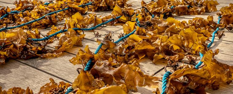 Sukkertang klar til udplantning på Bølgemarken