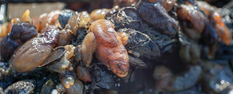 Søpunge og blåmuslinger i uhellig vrimmel i den maritime nyttehave i Hundested