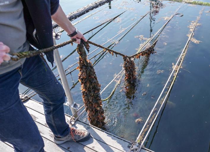 Søpunge-besatte muslingestrømper i Hundested