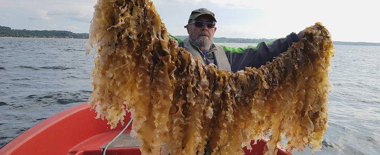 Dyrkning af sukkertang i Havhaven Ebeltoft Vig