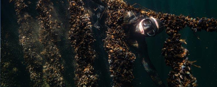 Dykker bag et tæppe af muslingebændler